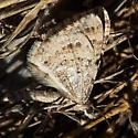 moth in the park - Perizoma epictata