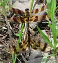 dragonflies - Celithemis eponina