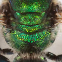 Augochlorella aurata sweat bee? - Augochlorella - male