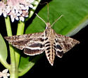 Is this possibly a Hermit Sphinx? Lintneria eremitus? - Lintneria eremitus