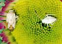 Brokenbacked Bug, The Next Generation - Taylorilygus apicalis