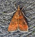 5051 – Pyrausta rubricalis – Variable Reddish Pyrausta - Pyrausta rubricalis