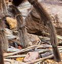 Tarantula - Aphonopelma