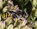 Wool carder bee Anthidium manicatum - Anthidium oblongatum