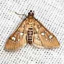 Baccatalis Moth - Hodges #5152 - Samea baccatalis