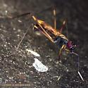 Stilt-Legged Flies Mating - Rainieria antennaepes - male