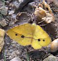 Thin-Lined Erastria moth  - Erastria cruentaria - male