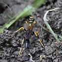 Black and Yellow Mud Dauber - Sceliphron caementarium