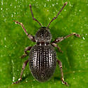 Strawberry Root Weevil? - Otiorhynchus ovatus