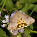 moth - Hypocala andremona