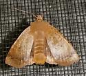Moth - Sericaglaea signata