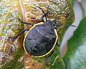 Bug on oregon grape fruit - Chlorochroa
