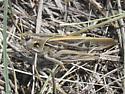 Pardalophora apiculata - male