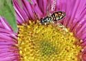 Unidentified bug - Toxomerus marginatus