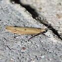 Ypsolopha unicipunctella, #2397 - Ypsolopha unicipunctella