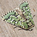 Deceptive Sallow Moth - Feralia deceptiva - male