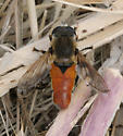 Unknown fly - Lejops curvipes