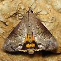 Hypocala Moth - Hodges #8642 - Hypocala andremona