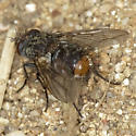 Another Tachinid - Deopalpus