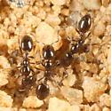 Tiny ground-nesting ants - Monomorium minimum - female