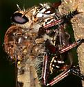 Giant Robber Fly with wasp prey?
