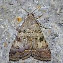 Melipotis novanda - Bulia