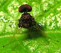 Oddbody Fly - Chrysopilus basilaris - male