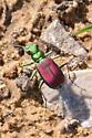 Splendid tiger beetle confirmation - Cicindela splendida