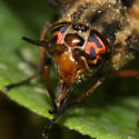 Deer Fly - Chrysops sackeni - female