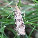 Unknown Moth - Nomophila nearctica