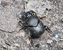 Scarabaeine Dung Beetle from Allen Acres - Onthophagus hecate
