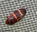 red stripe bug - Prosapia bicincta