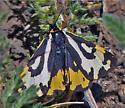 Unidentified Moth--Washington Alpine - Parasemia plantaginis - female