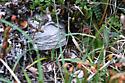 Nest of Dolichovespula albida - Dolichovespula albida