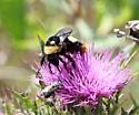 Bumble Bee - Bombus pensylvanicus