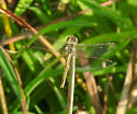 Dragonfly in yard...far from water - Sympetrum corruptum