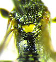 Ichneumon - female