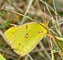 Orange Sulfur (Colias eurytheme) - Colias eurytheme - female