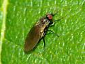 Leaf Miner Fly - Phytomyza