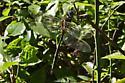 Possibly Fine-lined Emerald (Somatochlora filosa)? - Somatochlora filosa