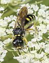 Square-headed Wasp - Ectemnius maculosus
