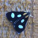 Sptted moth - Anania funebris