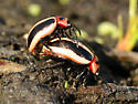 Unknown Beetle - Calligrapha californica - male - female