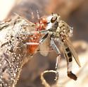 E albibaris - Efferia albibarbis - male