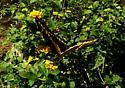Tiger Swallowtail ? - Papilio cresphontes