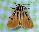 Tiger Moth Grammia - Apantesis virgo - male