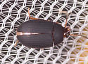 Beetle for ID - Platydema erythrocerum