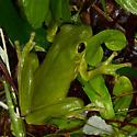 Louisiana's state amphibian