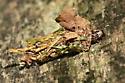 Evergreen Bagworm - Thyridopteryx ephemeraeformis - Thyridopteryx ephemeraeformis