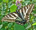 Pale Tiger Swallowtail - Papilio eurymedon